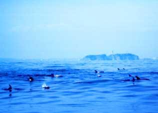江ノ島沖 ハナゴンドウクジラの群れ