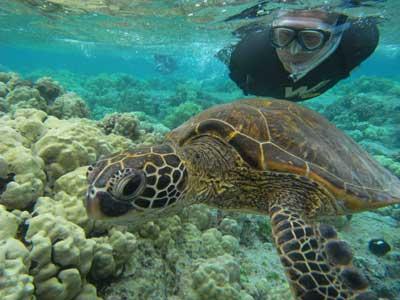 ハワイ島でカメと泳ぐ鈴木さん